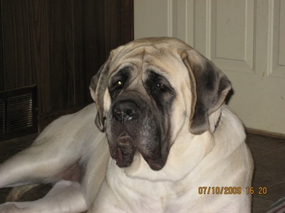 Mastiff female Indy