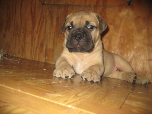 bullmastiff puppies