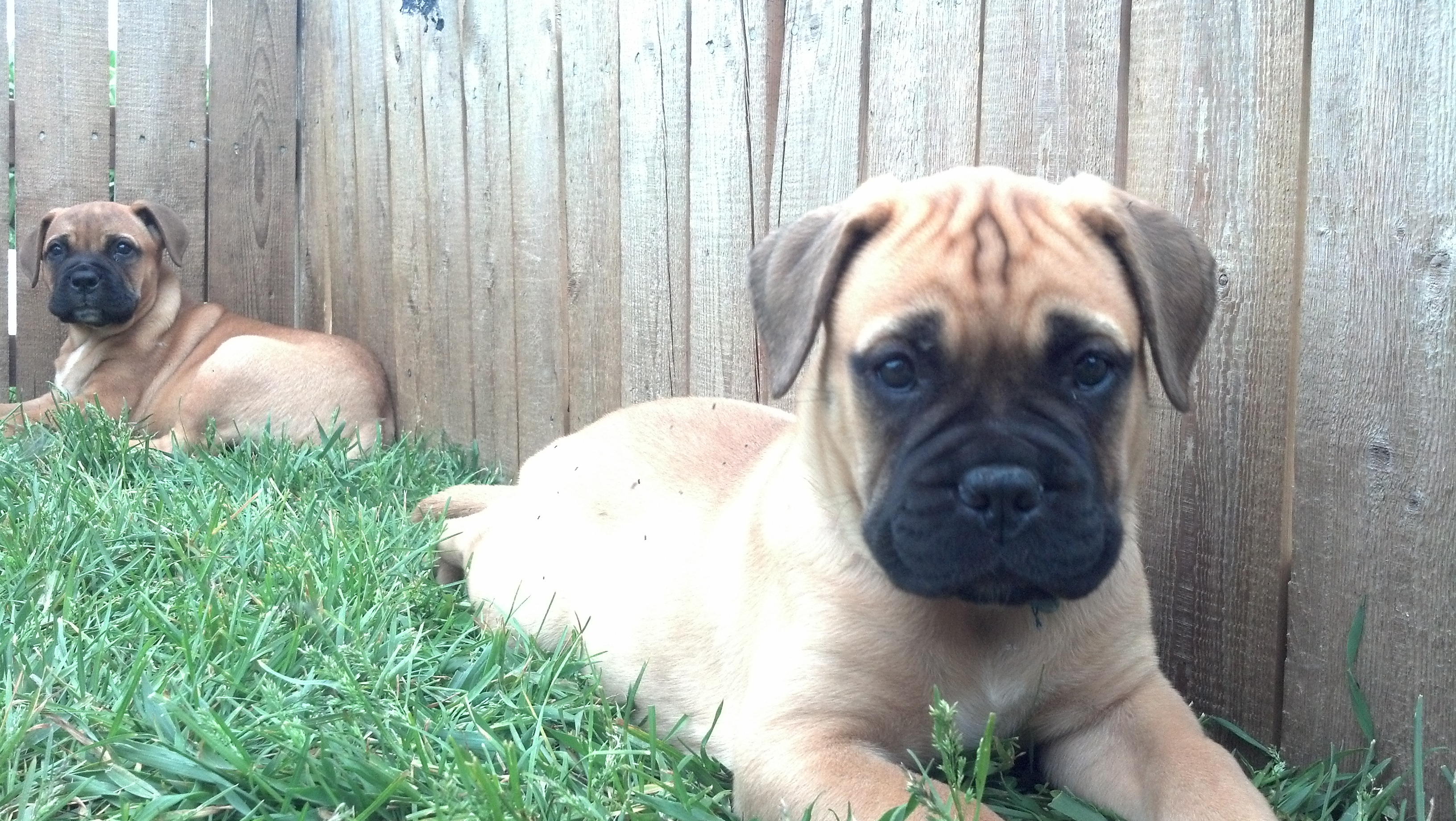 male bullmastiff puppies
